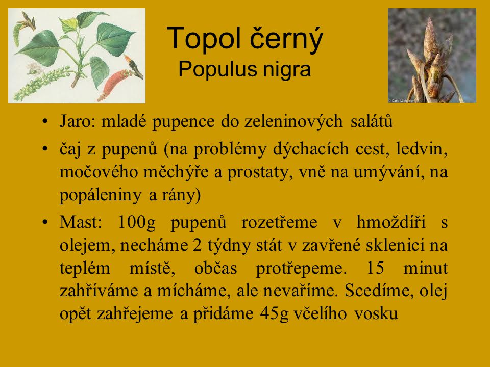 Topol černý Populus nigra