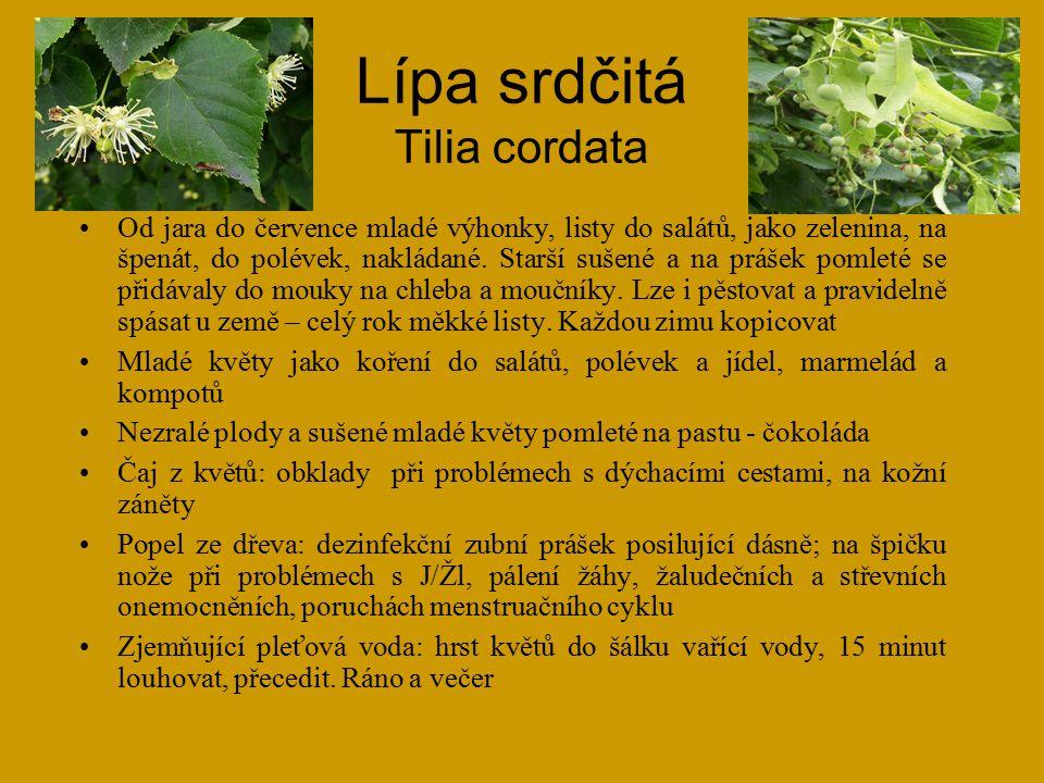 Lípa srdčitá Tilia cordata