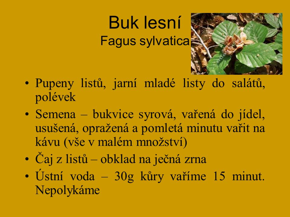 Buk lesní Fagus sylvatica