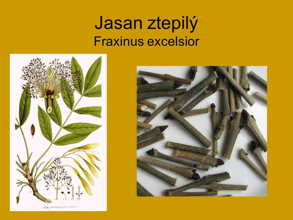 Jasan ztepilý Fraxinus excelsior