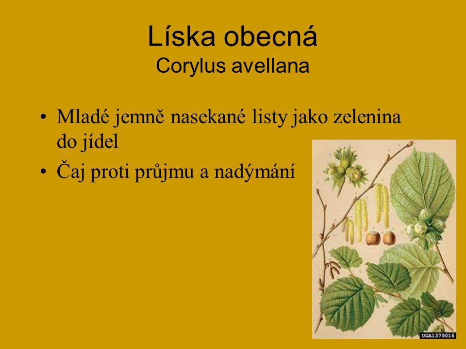 Líska obecná Corylus avellana