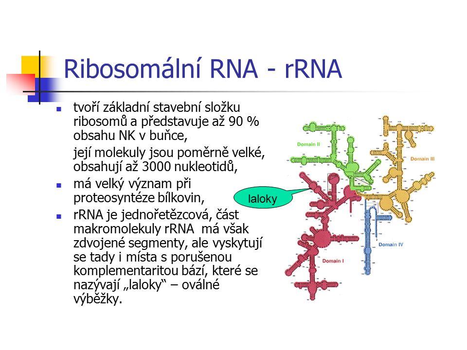 Ribosomální RNA - rRNA tvoří základní stavební složku ribosomů a představuje až 90 % obsahu NK v buňce,