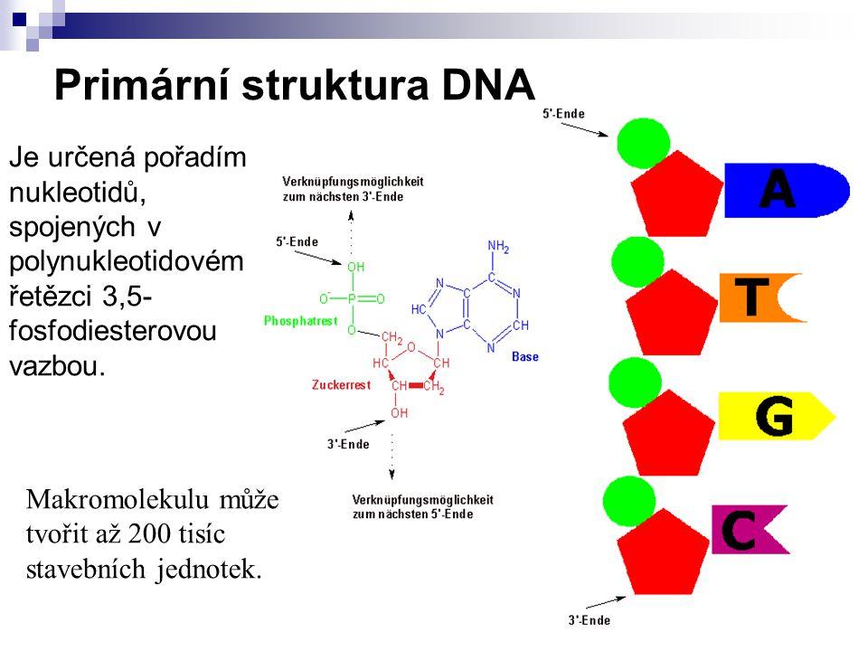 Primární struktura DNA