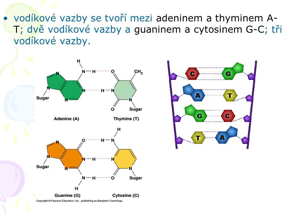 vodíkové vazby se tvoří mezi adeninem a thyminem A-T; dvě vodíkové vazby a guaninem a cytosinem G-C; tři vodíkové vazby.
