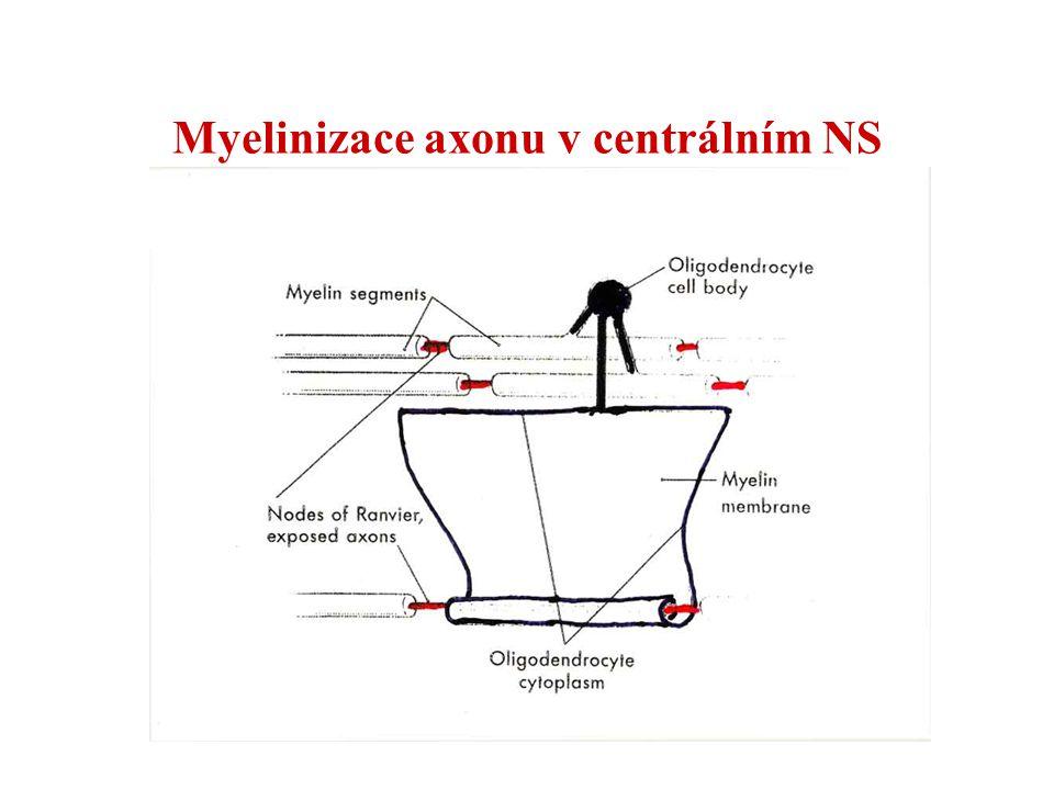 Myelinizace axonu v centrálním NS