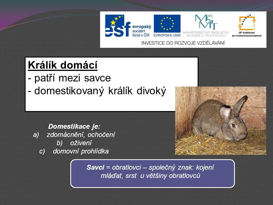 domestikovaný králík divoký