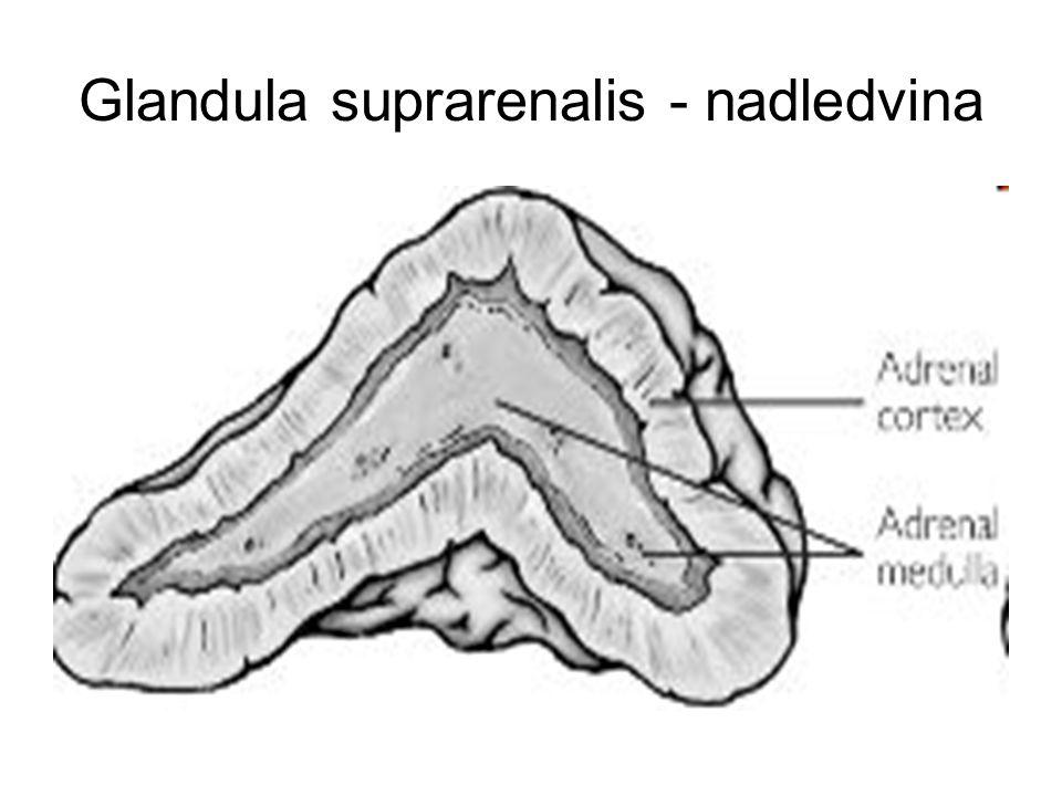 Glandula suprarenalis - nadledvina
