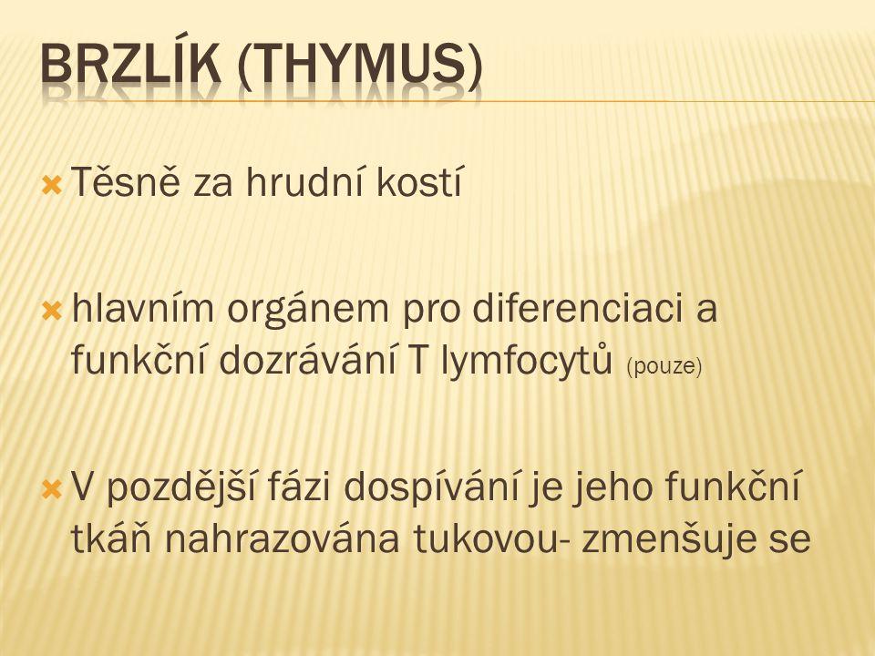Brzlík (thymus) Těsně za hrudní kostí