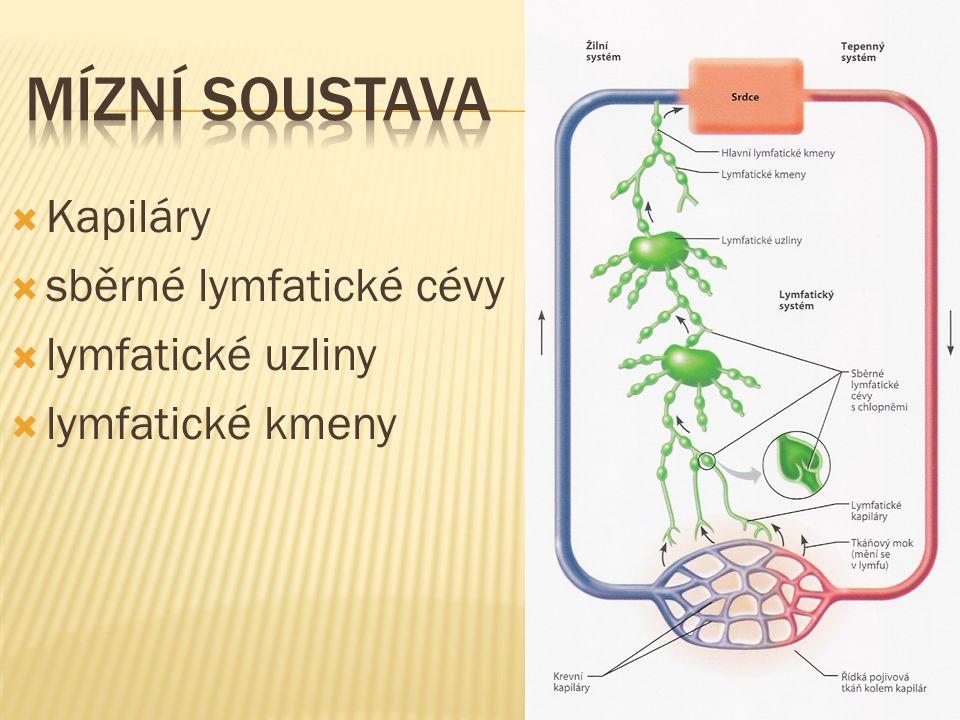 Mízní soustava Kapiláry sběrné lymfatické cévy lymfatické uzliny
