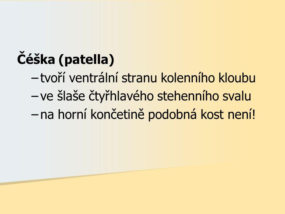 Čéška (patella) tvoří ventrální stranu kolenního kloubu.