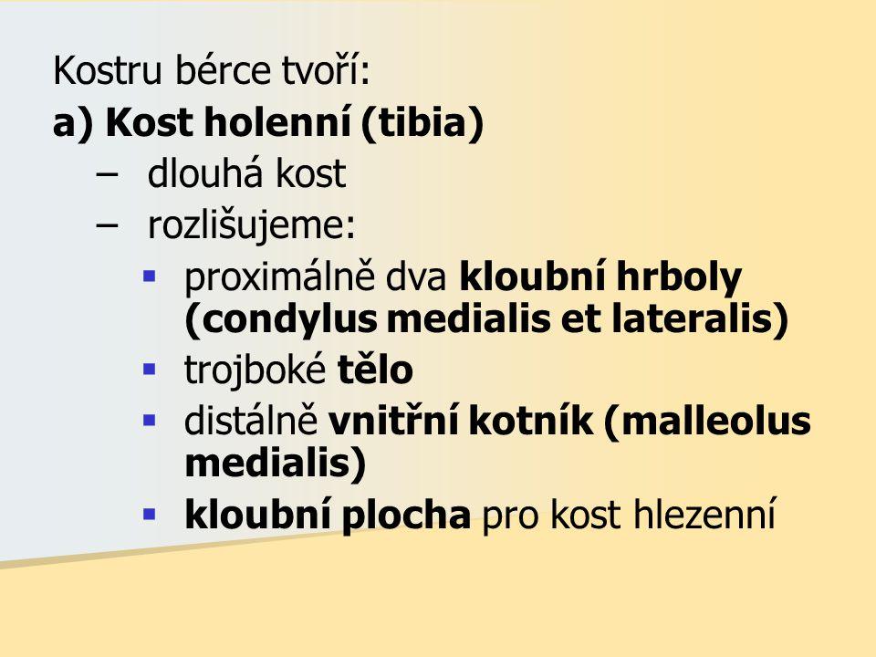 Kostru bérce tvoří: a) Kost holenní (tibia) dlouhá kost. rozlišujeme: proximálně dva kloubní hrboly (condylus medialis et lateralis)