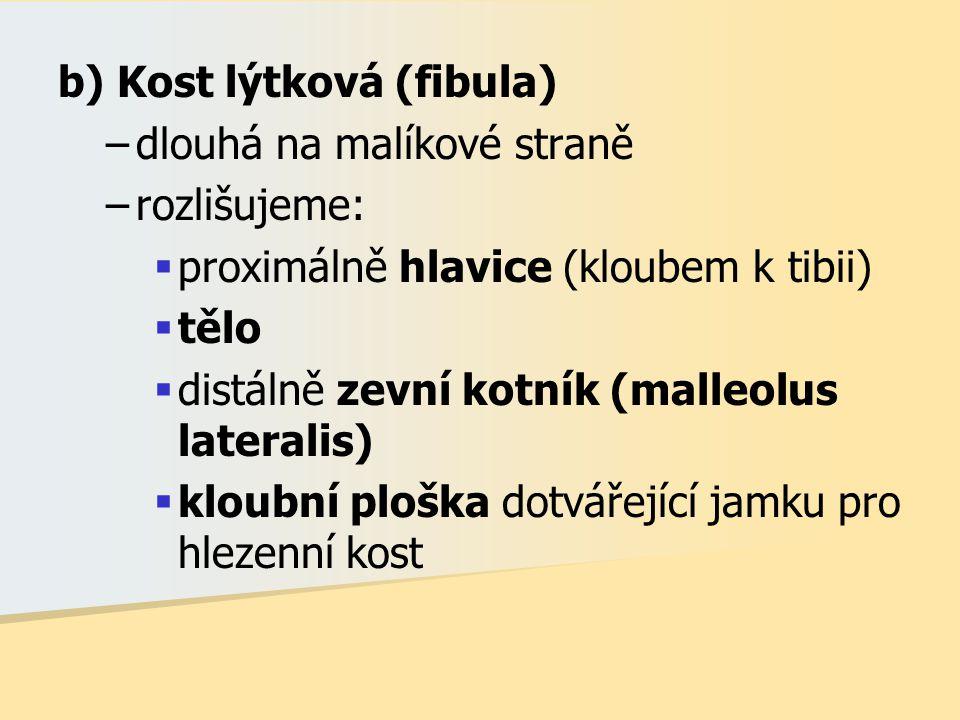 b) Kost lýtková (fibula)