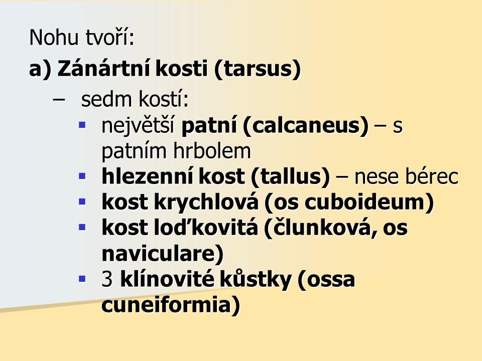 Nohu tvoří: a) Zánártní kosti (tarsus) sedm kostí: největší patní (calcaneus) – s patním hrbolem.