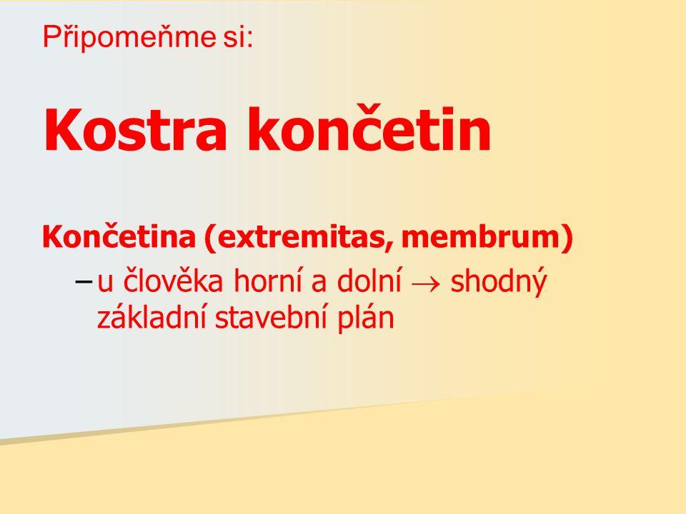 Kostra končetin Připomeňme si: Končetina (extremitas, membrum)