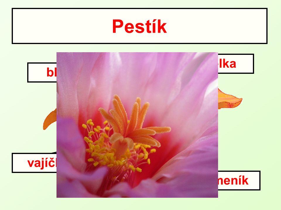 Pestík čnělka blizna vajíčko semeník