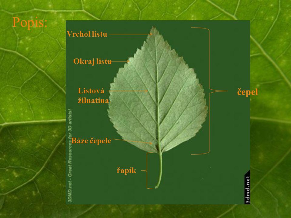 Popis: čepel Vrchol listu Okraj listu Listová žilnatina Báze čepele