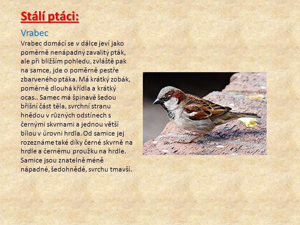 Stálí ptáci: Vrabec.