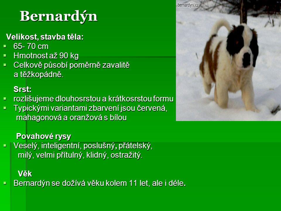Bernardýn 65- 70 cm Hmotnost až 90 kg Celkově působí poměrně zavalitě