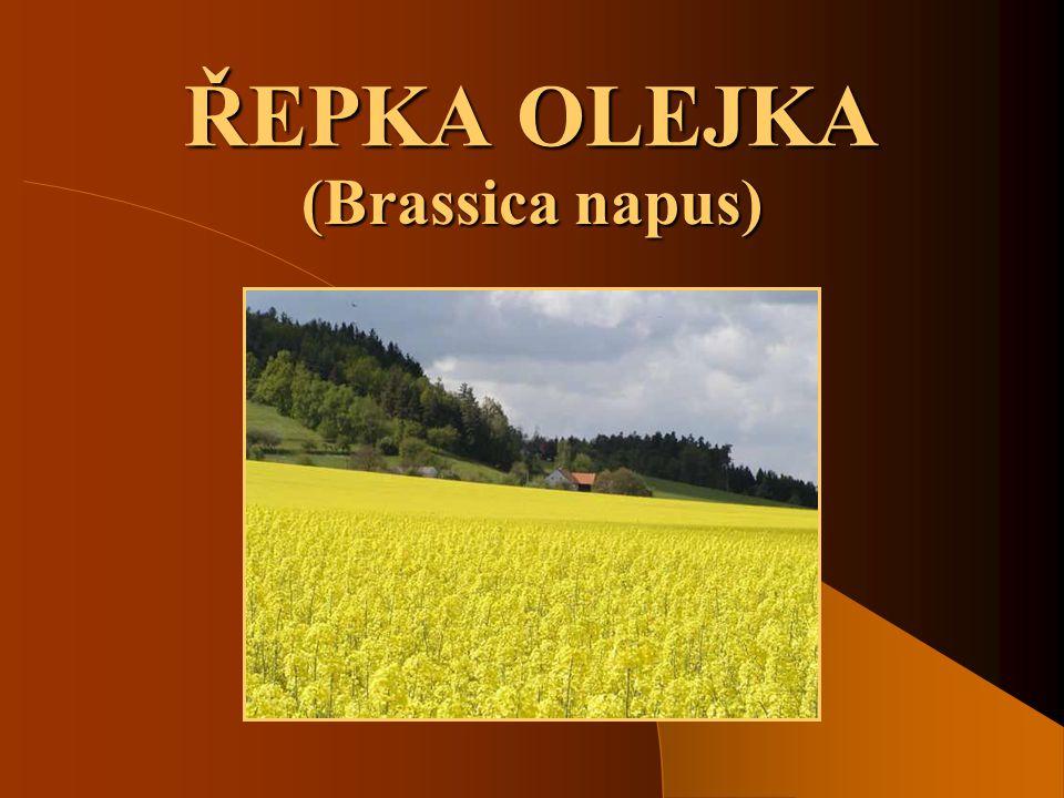ŘEPKA OLEJKA (Brassica napus)