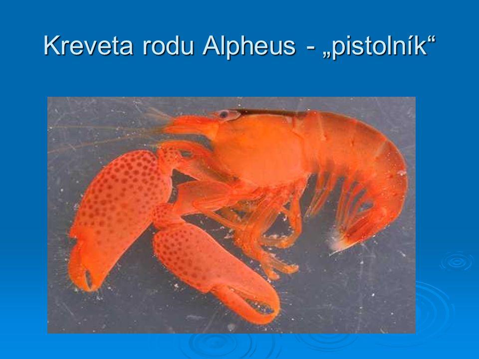 """Kreveta rodu Alpheus - """"pistolník"""