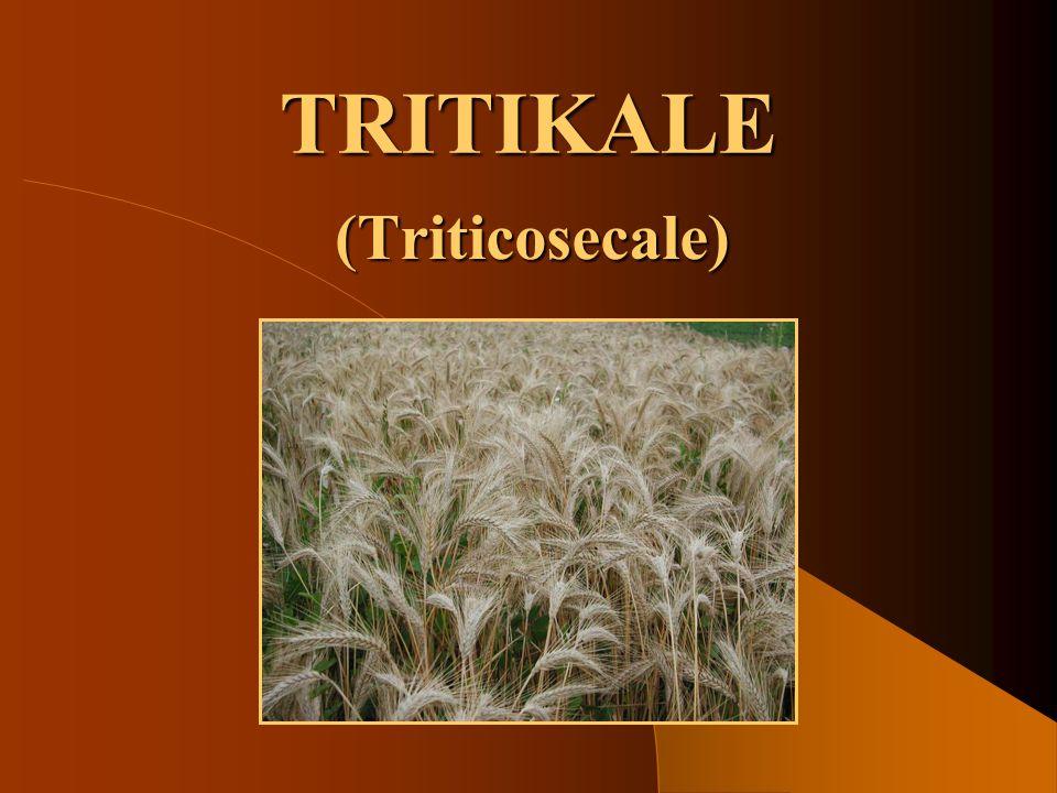 TRITIKALE (Triticosecale)