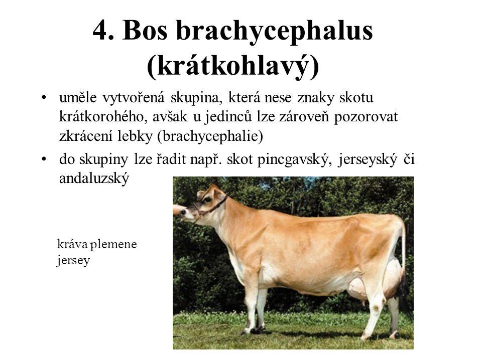 4. Bos brachycephalus (krátkohlavý)