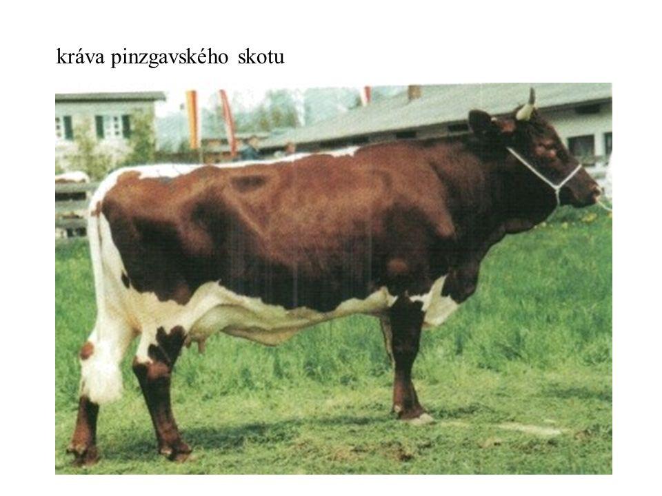 kráva pinzgavského skotu