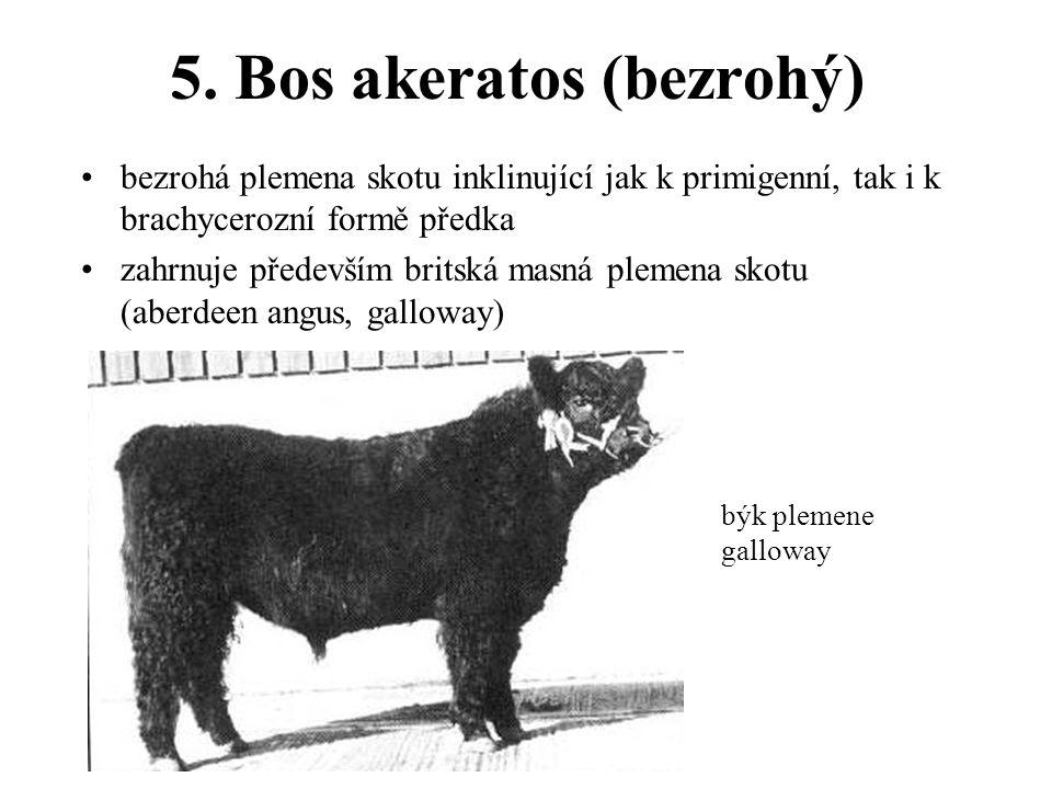 5. Bos akeratos (bezrohý)