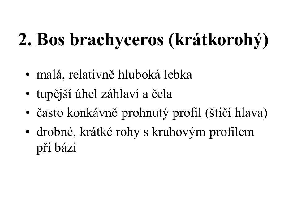 2. Bos brachyceros (krátkorohý)