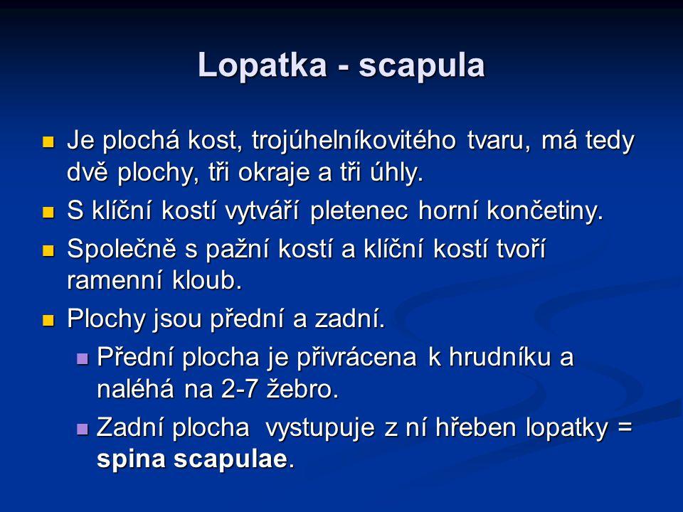 Lopatka - scapula Je plochá kost, trojúhelníkovitého tvaru, má tedy dvě plochy, tři okraje a tři úhly.