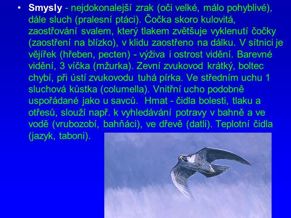 Smysly - nejdokonalejší zrak (oči velké, málo pohyblivé), dále sluch (pralesní ptáci).