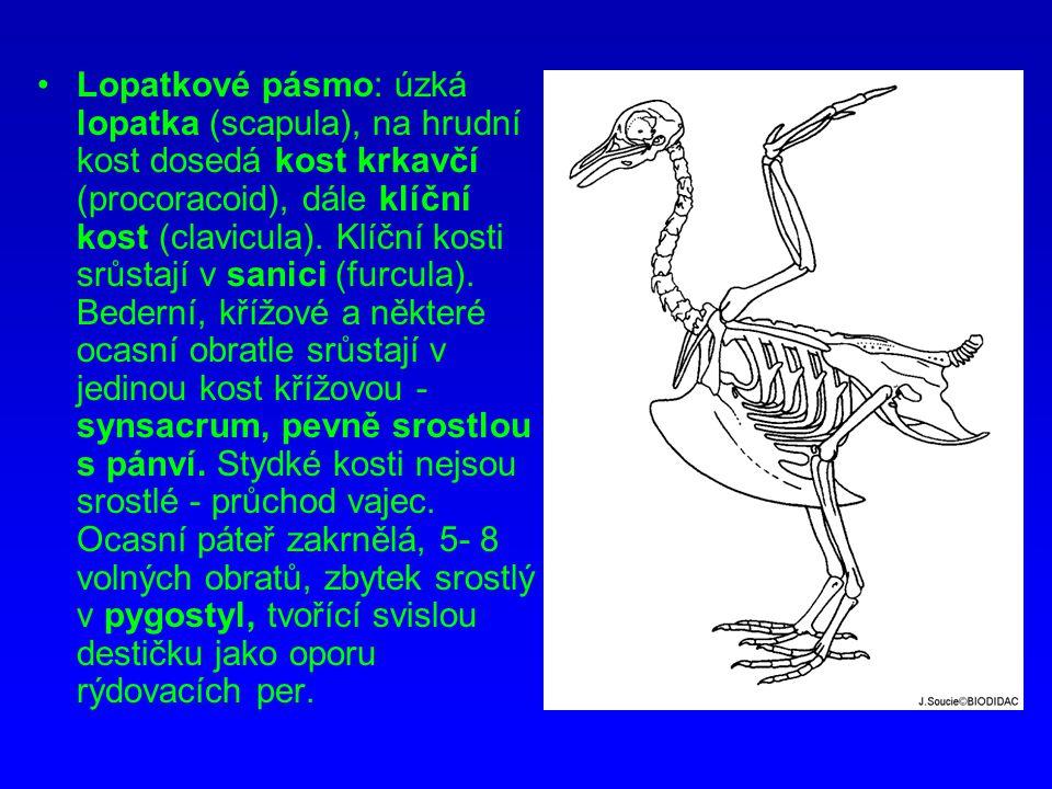 Lopatkové pásmo: úzká lopatka (scapula), na hrudní kost dosedá kost krkavčí (procoracoid), dále klíční kost (clavicula).