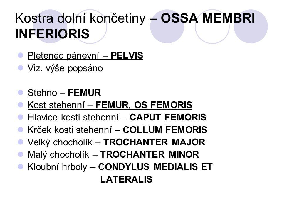 Kostra dolní končetiny – OSSA MEMBRI INFERIORIS