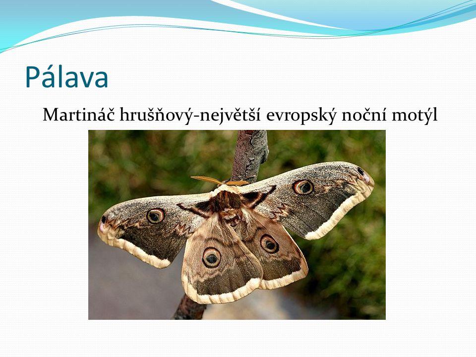 Pálava Martináč hrušňový-největší evropský noční motýl