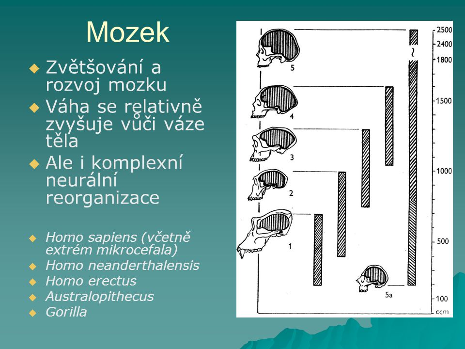 Mozek Zvětšování a rozvoj mozku