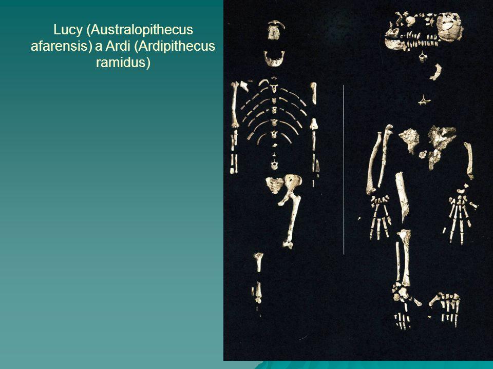 Lucy (Australopithecus afarensis) a Ardi (Ardipithecus ramidus)