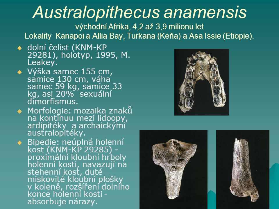 Australopithecus anamensis východní Afrika, 4,2 až 3,9 milionu let Lokality Kanapoi a Allia Bay, Turkana (Keňa) a Asa Issie (Etiopie).