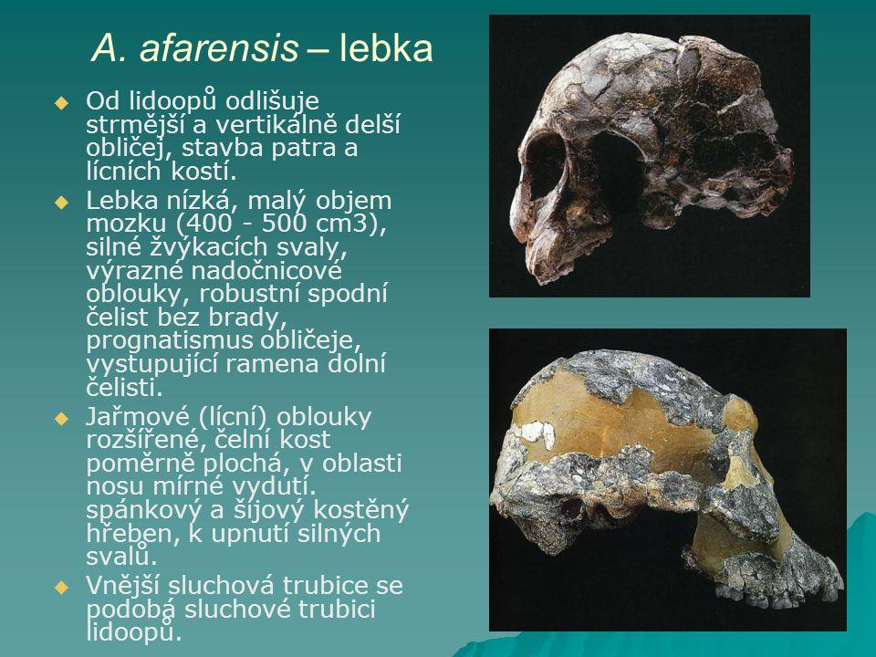 A. afarensis – lebka Od lidoopů odlišuje strmější a vertikálně delší obličej, stavba patra a lícních kostí.