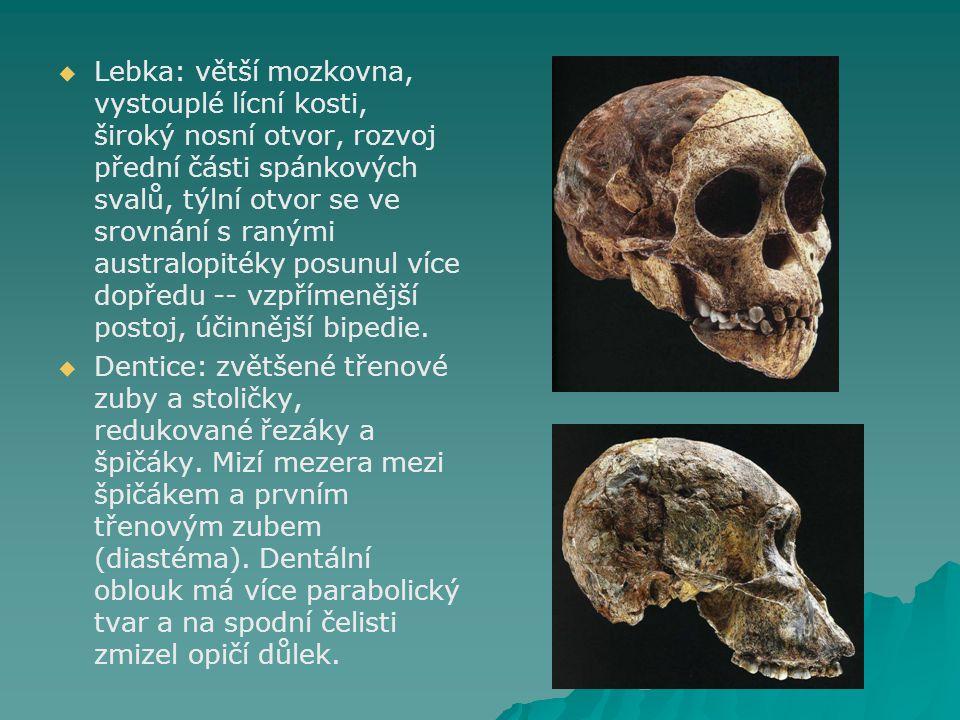 Lebka: větší mozkovna, vystouplé lícní kosti, široký nosní otvor, rozvoj přední části spánkových svalů, týlní otvor se ve srovnání s ranými australopitéky posunul více dopředu -- vzpřímenější postoj, účinnější bipedie.
