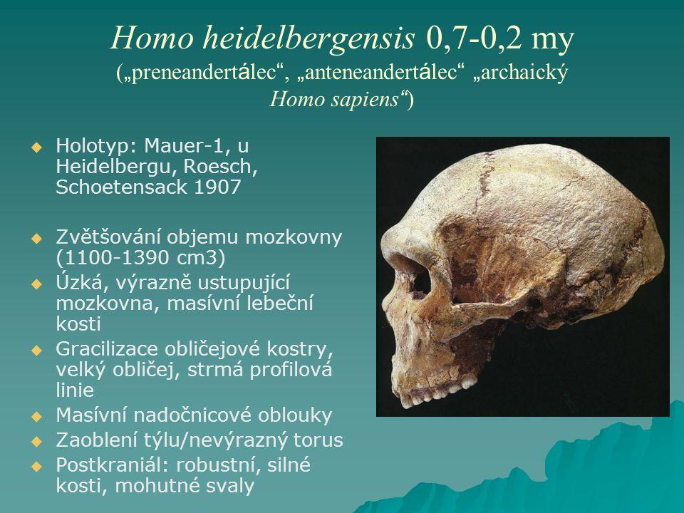 "Homo heidelbergensis 0,7-0,2 my (""preneandertálec , ""anteneandertálec ""archaický Homo sapiens )"