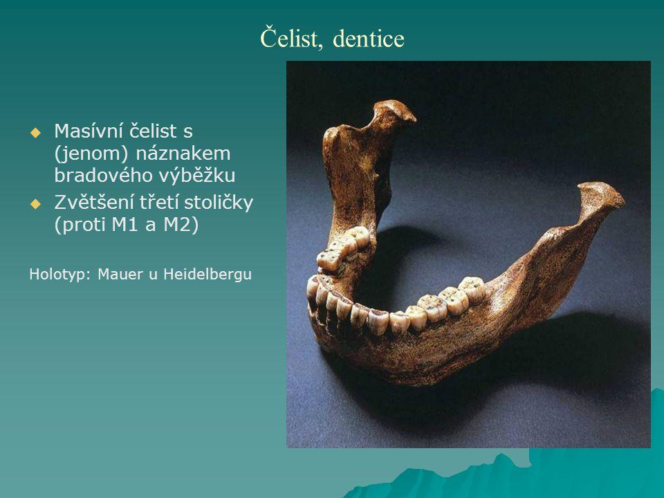 Čelist, dentice Masívní čelist s (jenom) náznakem bradového výběžku