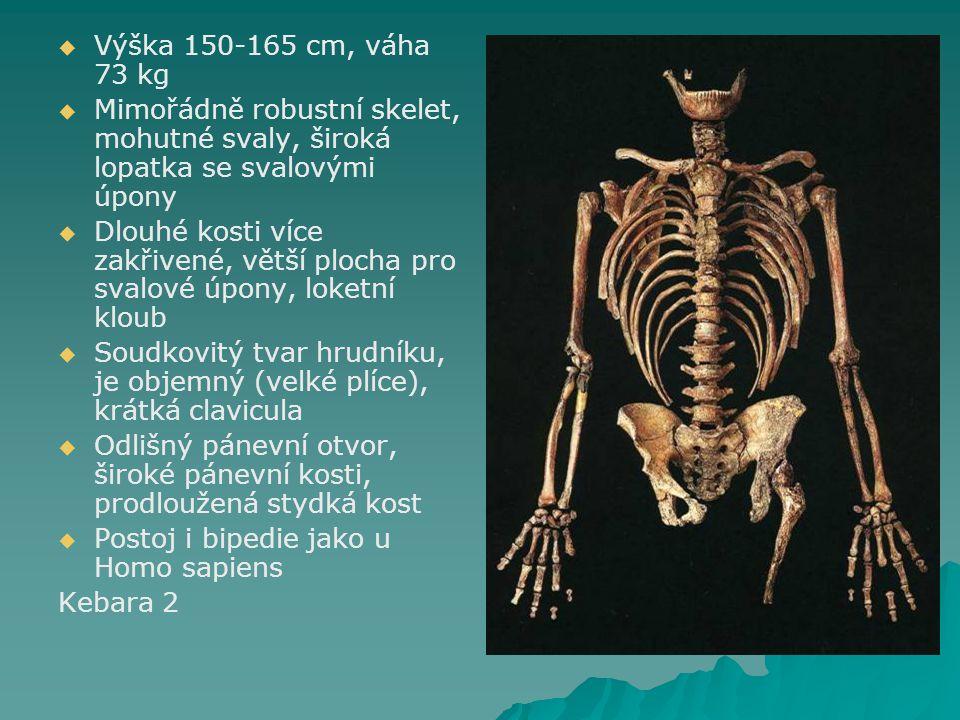 Výška 150-165 cm, váha 73 kg Mimořádně robustní skelet, mohutné svaly, široká lopatka se svalovými úpony.