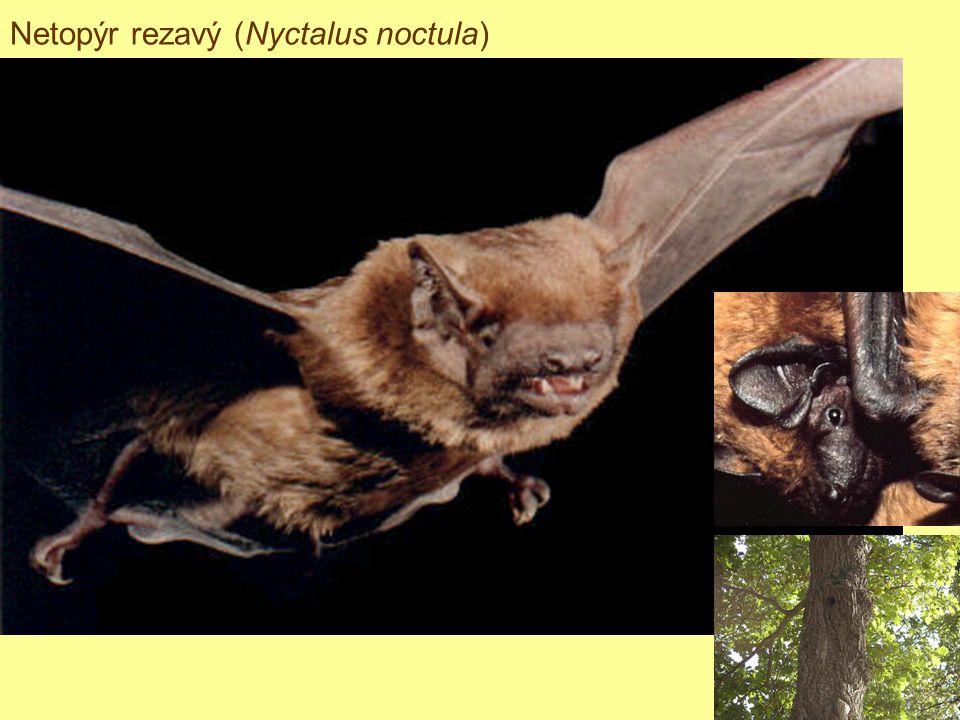 Netopýr rezavý (Nyctalus noctula)