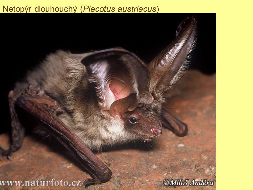 Netopýr dlouhouchý (Plecotus austriacus)