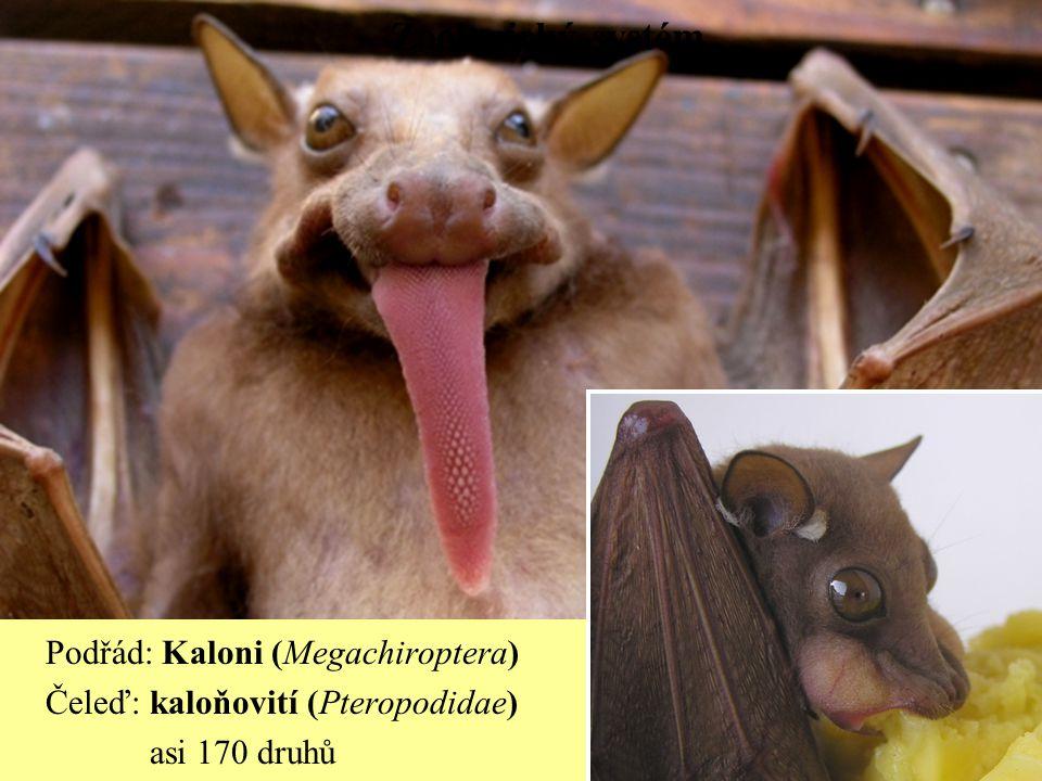 Zoologický systém Podřád: Kaloni (Megachiroptera)