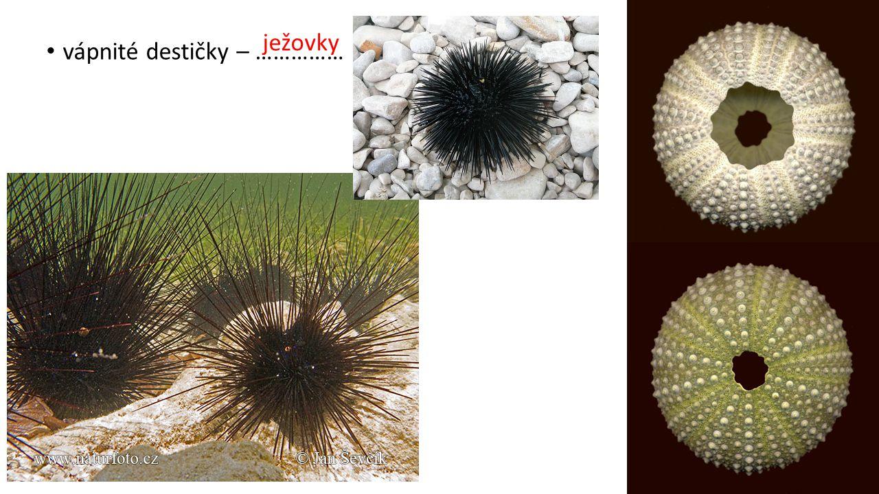 ježovky vápnité destičky – ……………