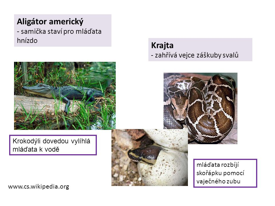 Aligátor americký Krajta - samička staví pro mláďata hnízdo