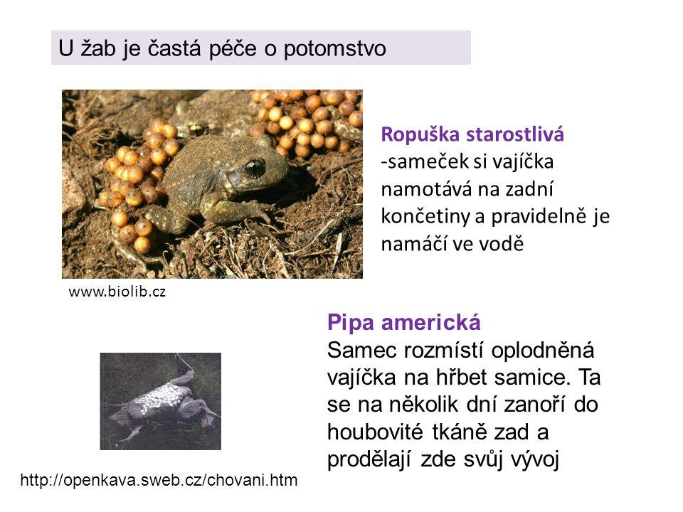 U žab je častá péče o potomstvo