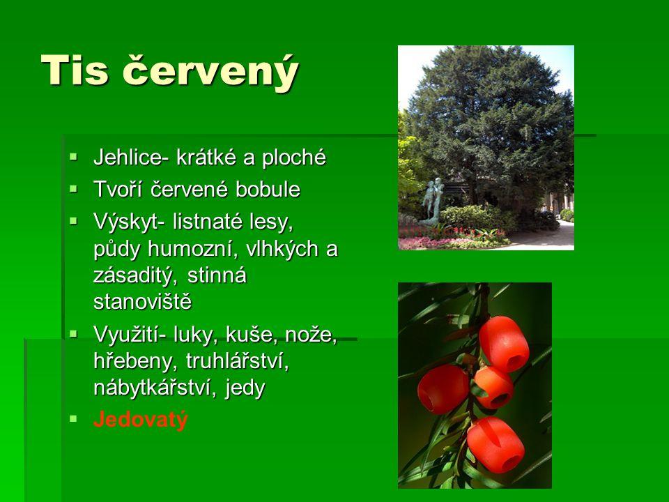 Tis červený Jehlice- krátké a ploché Tvoří červené bobule