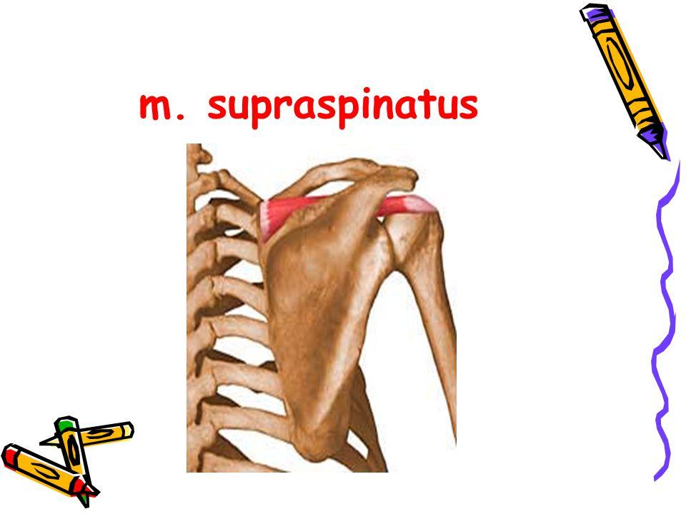 m. supraspinatus